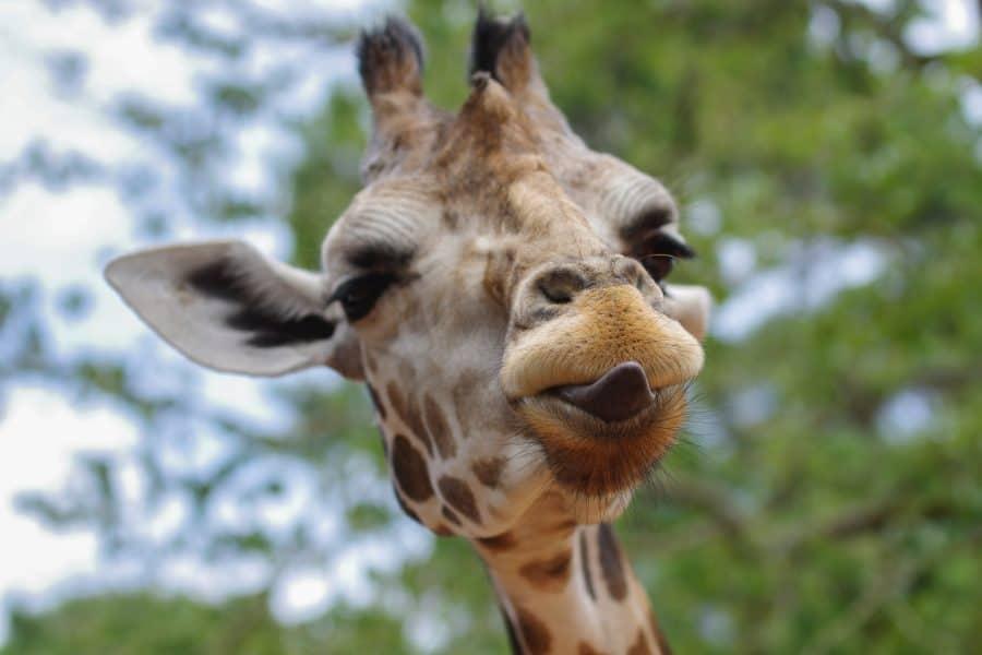 gewoontedier loslaten giraffe
