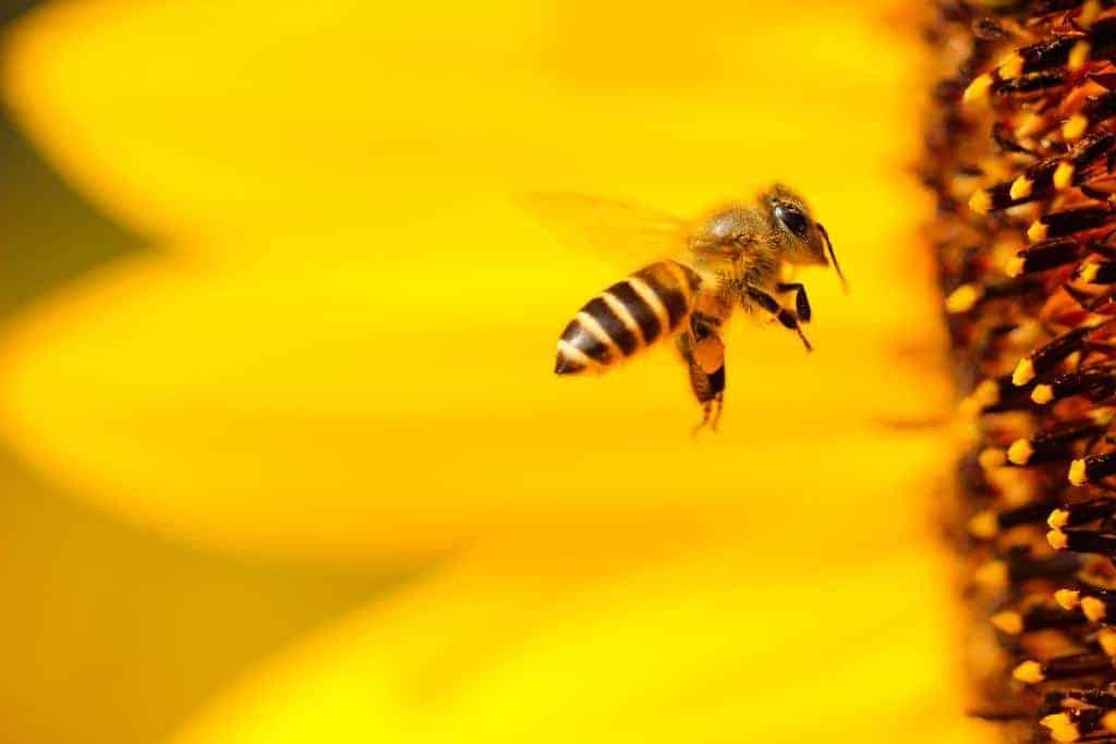 bij bijen