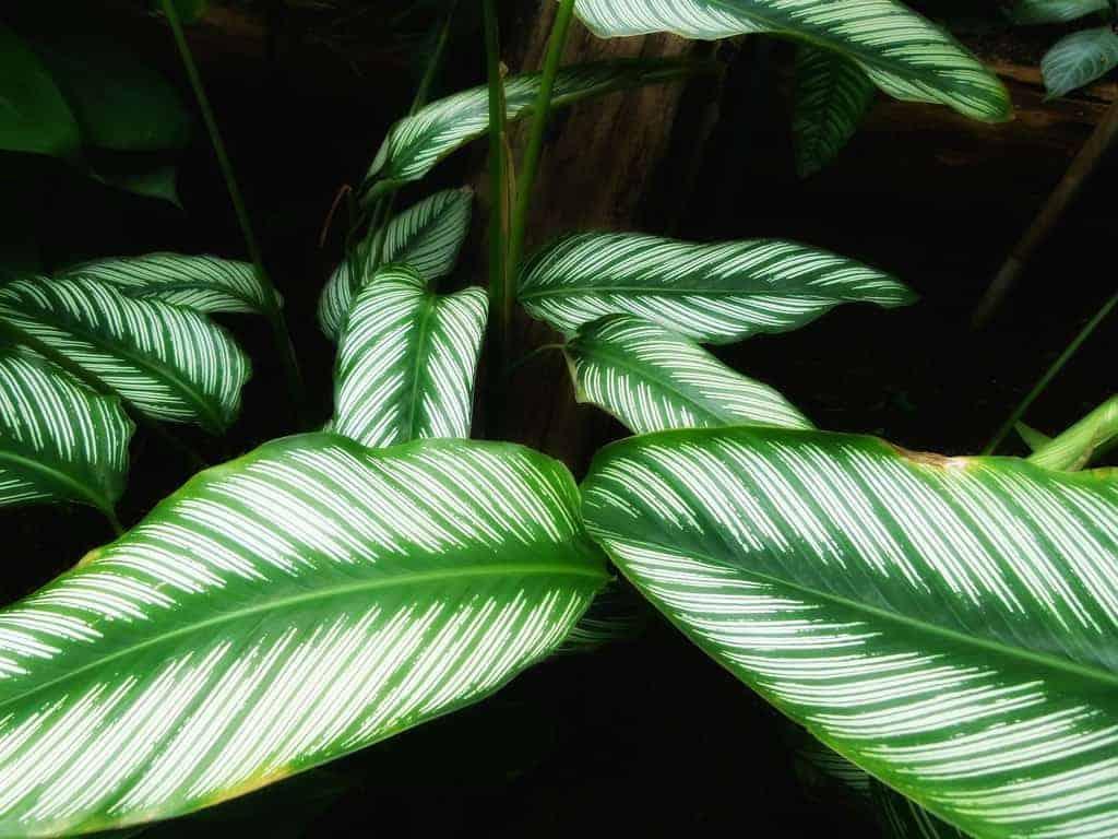 calathea zuiverende planten
