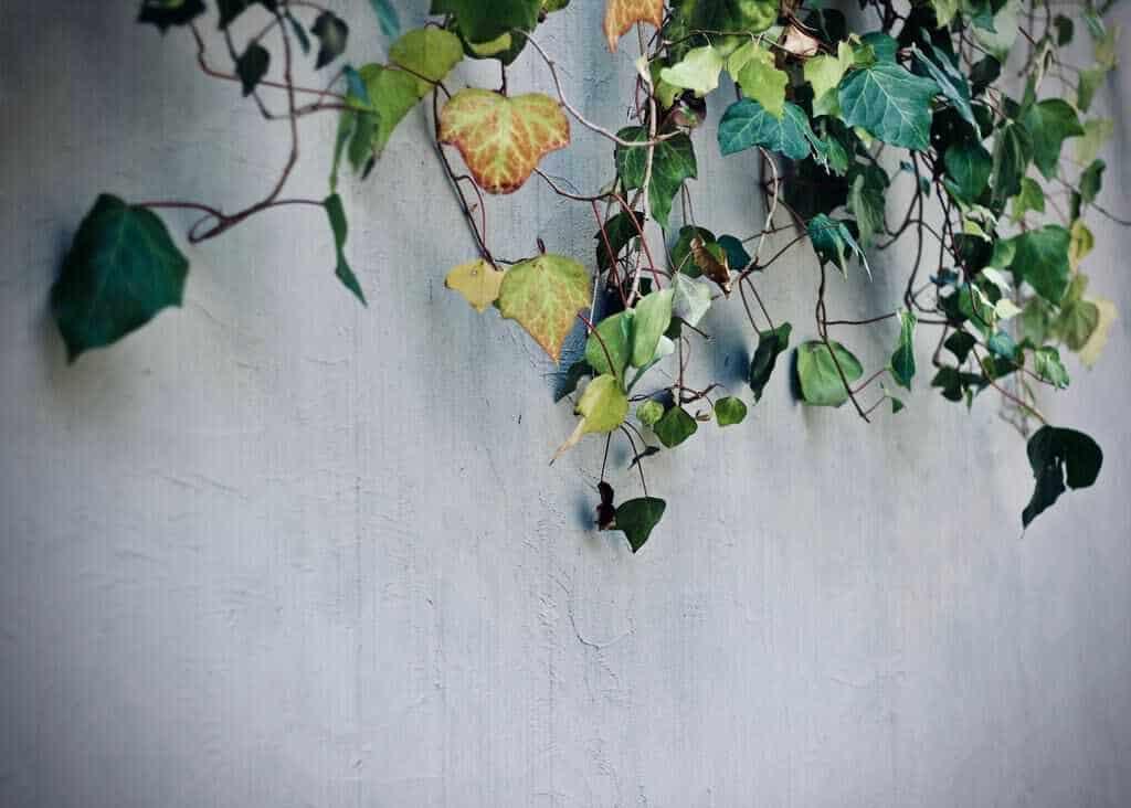 klimop zuiverende planten in huis