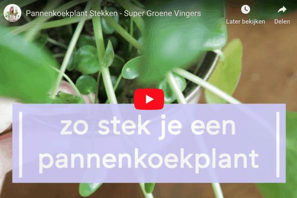 Zo stek je een pannenkoekplant