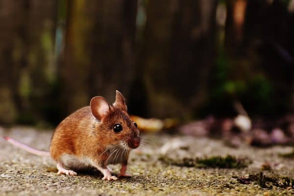 muis knaagdier