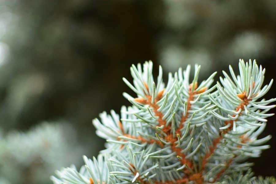 kerstboom herplanten