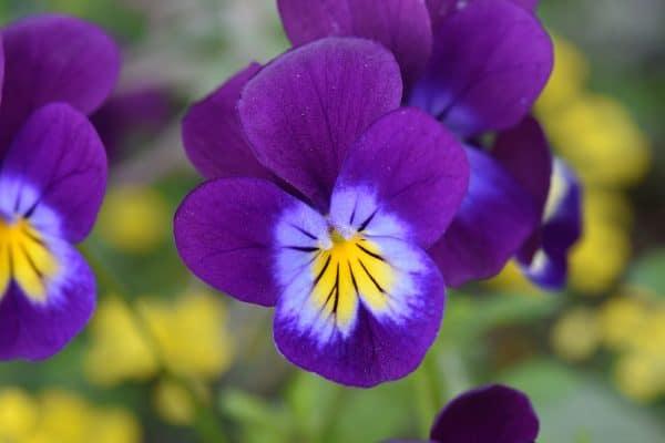 beplantingstips viooltjes