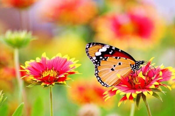 meer vlinders