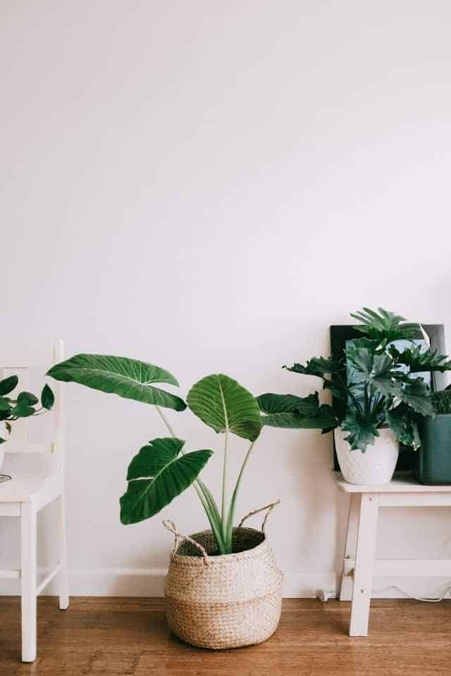 Alocasia planten
