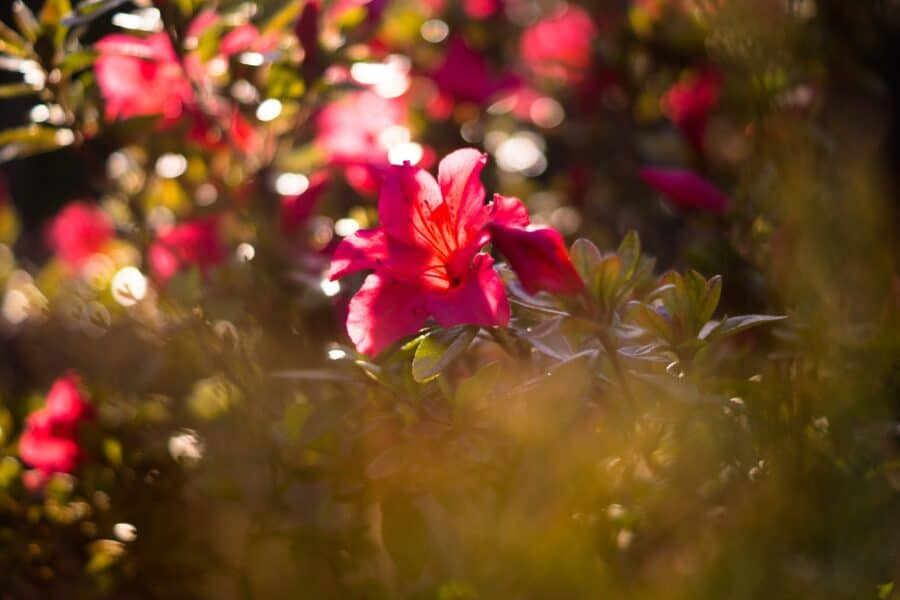 rhododendron tuin